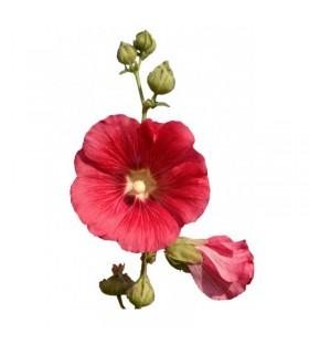 عرق گل ختمی